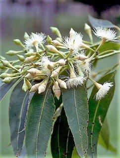 ユーカリ・ペリタの種