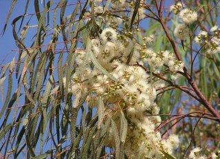 ユーカリ・カマルドレンシス(レッドリバーガム)の種
