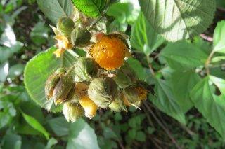 キミノヒマラヤキイチゴ(オニイチゴ、イエローヒマラヤンラズベリー)の種