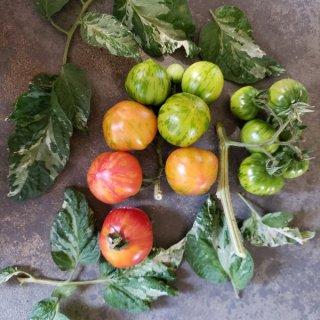 ペインテッドレディートマトの種