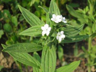ニホンムラサキ(紫草)の種