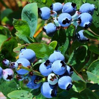 ドワーフブルーベリー(トップハット)の種