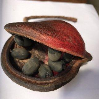 ヤツデアオギリ(ジャワオリーブ)の種
