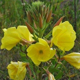 イブニングプリムローズ(メマツヨイグサ)の種