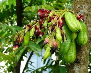 ビリンビ(ナガバノゴレンシ)の種