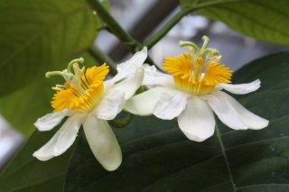 リンデニアナパッションフルーツ(ツリーパッションフラワー)の種