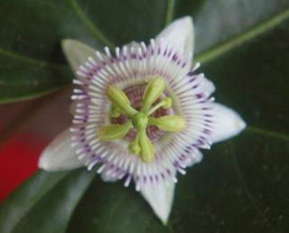 シシオイデスパッションフルーツの種