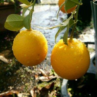 スイートレモネードレモンの苗: 3号ポット