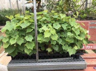 ワインブドウの台木(リパリア×ルペストリス101-14): 挿し木苗(20〜30cm)