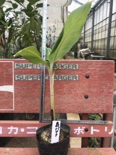 島バナナの苗: 4号ポット