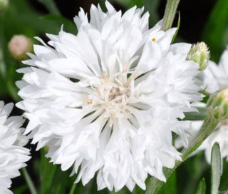 ヤグルマギク(ホワイト)の種
