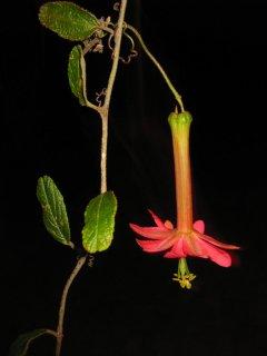 アダルテリナパッションフルーツの種