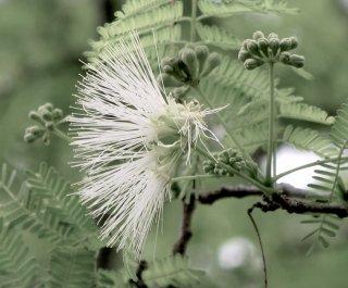 アルビジア・ハーベイの種