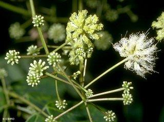 アルビジア・プロセラ(ホワイトシリス)の種