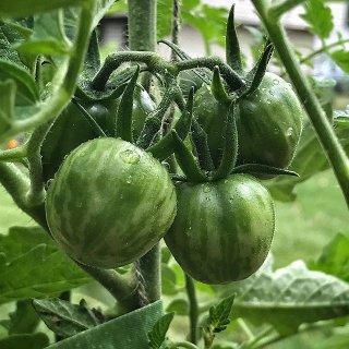 グリーンベルニサージュトマトの種