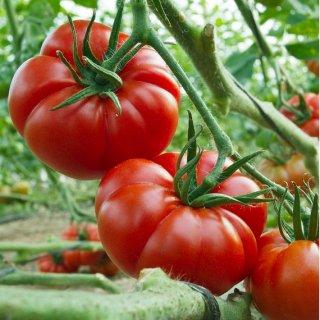 マーマンデスーパープレコーストマトの種