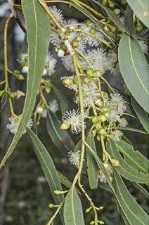 ユーカリ・ダルリムプレアーナ(マウンテンガム、マウンテンホワイトガム、ホワイトガム、広葉樹リボンガム)の種