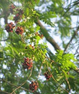 トウアズキ(ローザリーピー)の種