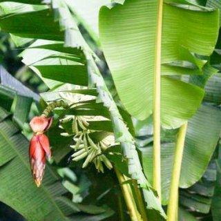 ムサ・ツベキュラータの種