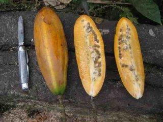 ジャカラティア・ディジタータ(ナンビ)の種