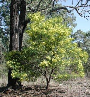 アカシア・デクレンス(ブラックワトル、フサアカシア)の種