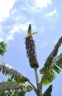 ムサ・ブケンシス(ソロモンバナナ)の種