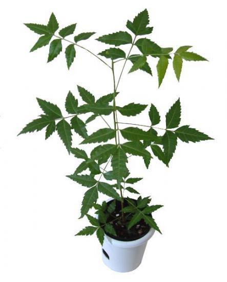 人気観葉植物ニーム