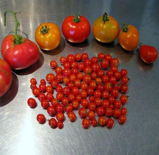 レッドスプーントマト(世界一小さいプチトマト)の種