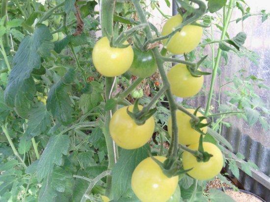 ホワイトチェリートマトの種