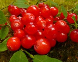 レッドハックルベリーの種