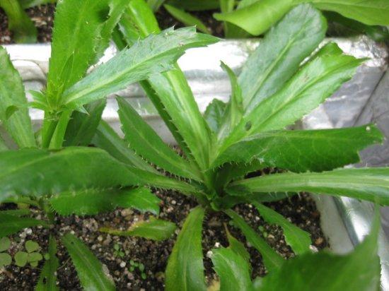 ノコギリコリアンダー(パクチー・ファラン、超香草)の種
