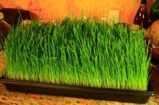 ウィートグラス(小麦若葉)の種(1kg〜)
