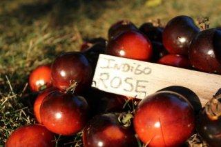 インディゴローズトマトの種