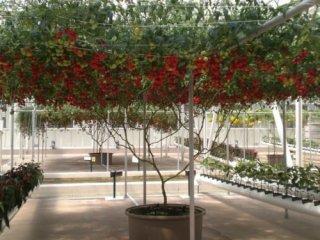 イタリアンツリートマトの種