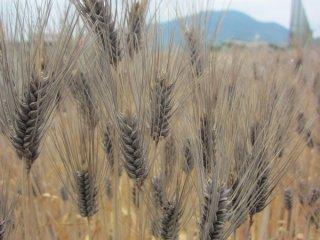 はだか麦(ダイシモチ、大麦)の種
