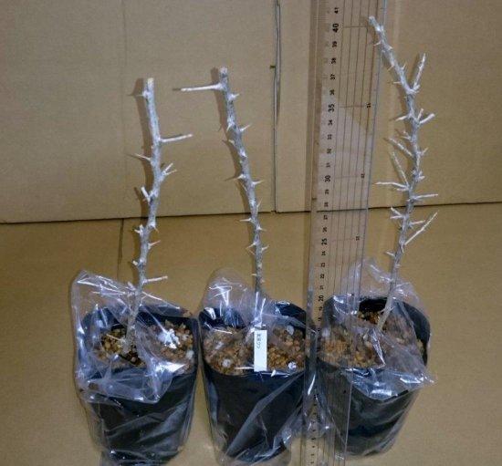 ブラックゴジベリー(黒クコ)の苗: 3号ポット *実生苗(30~40cm)