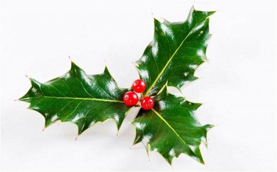 イングリッシュホーリー(クリスマスホーリー)の種