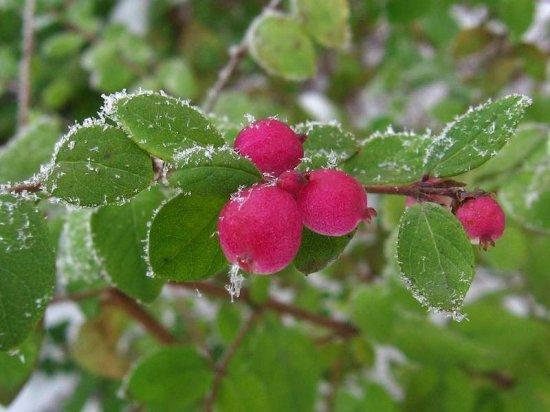 コーラルベリーの種