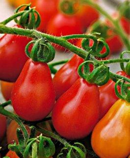 レッドペアートマトの種