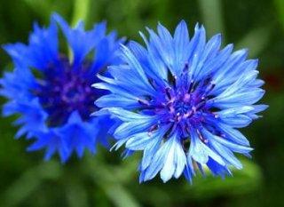 ヤグルマギク(ブルー)の種