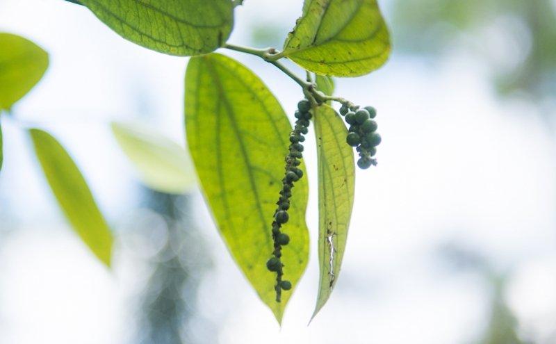 黒胡椒(粗挽き)
