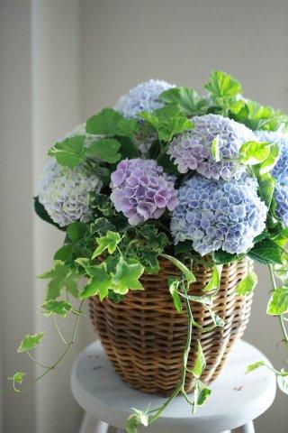 【自分で植える花苗セット】アジサイマジカルレボリューションとストロベリーレモンゼラニウム