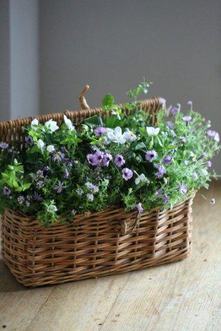 【自分で植える花苗セット】ペチュニアアリスの森とセイロンライティア