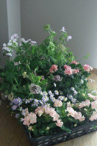 【自分で植える花苗セット】ニチニチソウ