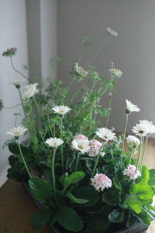 自分で植える花苗セット 宿根ガーベラと初夏の植物