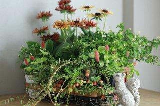 【自分で植える花苗セット】ルドベキアとクランベリーのブリコラージュ[9/4〜9/7]