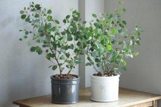 ユーカリ・ポポラスのRHS鉢植え(鉢色選べます)