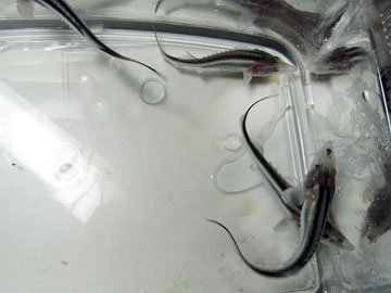 オオチョウザメ 10〜15cm_