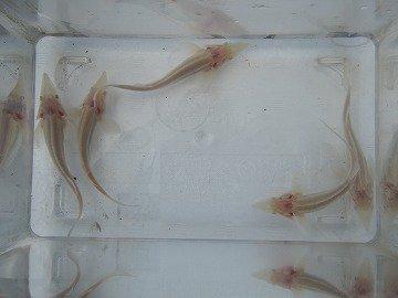 アルビノコチョウザメ  15〜20cm_