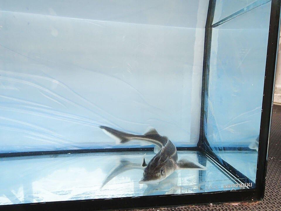 コチョウザメ 30〜40cm_